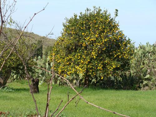 Orangenbaum auf La Palma